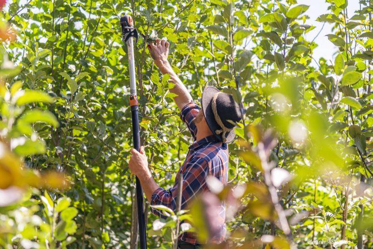 Gärtnermeister Paul Huber beim Obstbaumschnitt